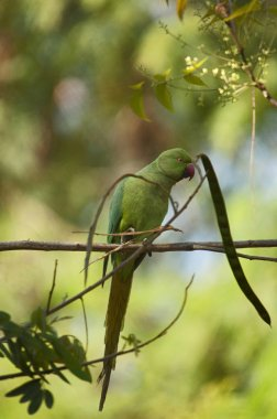 Green parakeet or parrot perched on tree branch, India