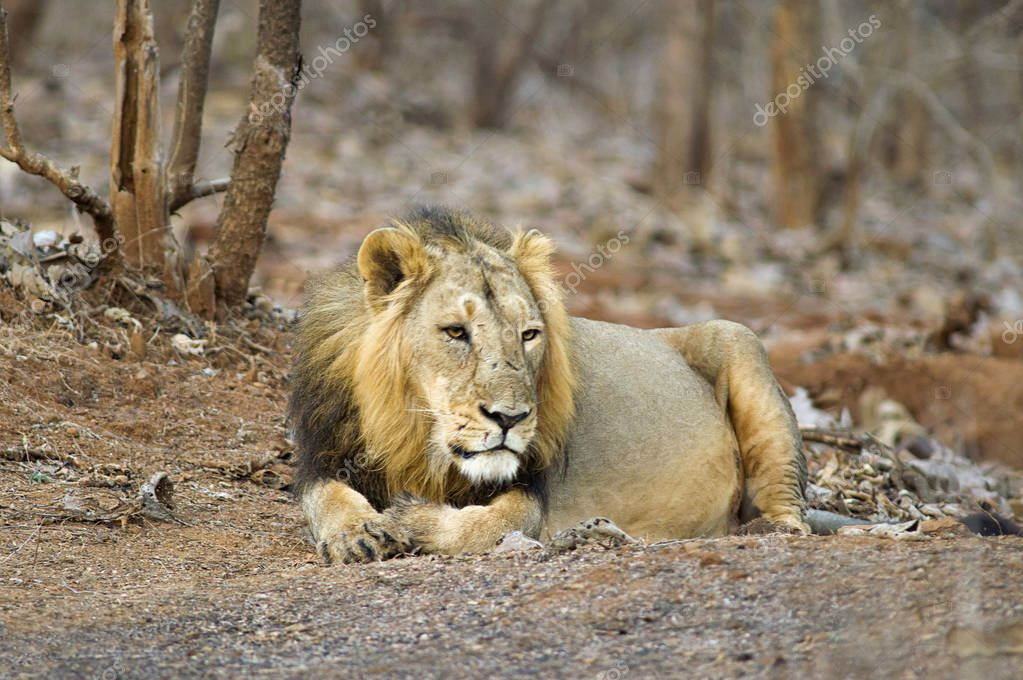 Asiatic Lion, Panthera leo persica, resting in the forest at Gir National Park Gujarat, India