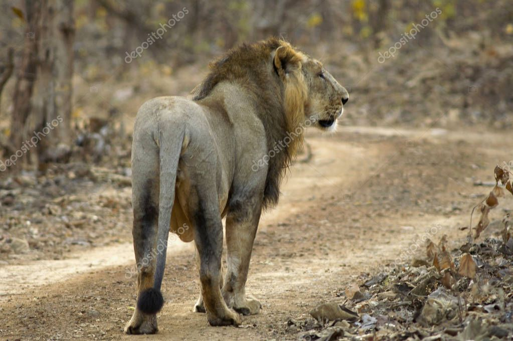 Asiatic Lion, Panthera leo persica, walking in the forest at Gir National Park Gujarat, India