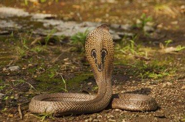 Close view of Indian cobra, Naja naja, also known as the Spectacled cobra, Asian cobra or Binocellate cobra, India