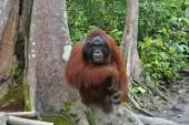 Fotografie Orang-Utan, Indonesien. Ursprünglich aus Indonesien und Malaysia, Orang Utans derzeit nur den Regenwald von Borneo und Sumatra entnehmen. Orang-Utans sind die meisten arboreal Menschenaffen und verbringen den Großteil ihrer Zeit in den Bäumen. Orang-Utans gehören zu den m