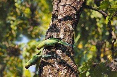 Alexandrine Parakeets Psittacula eupatria. Bandhavgarh Tiger Reserve, Madhya Pradesh, India