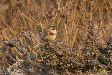 White-capped or Chestnut-breasted bunting, Emberiza stewarti, Mount Abu, Rajasthan, India