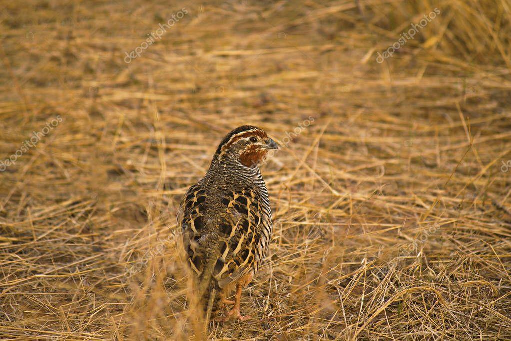 Jungle Bush Quail, Perdicula asiatica, Ranthambhore Tiger Reserve, Rajasthan state of India