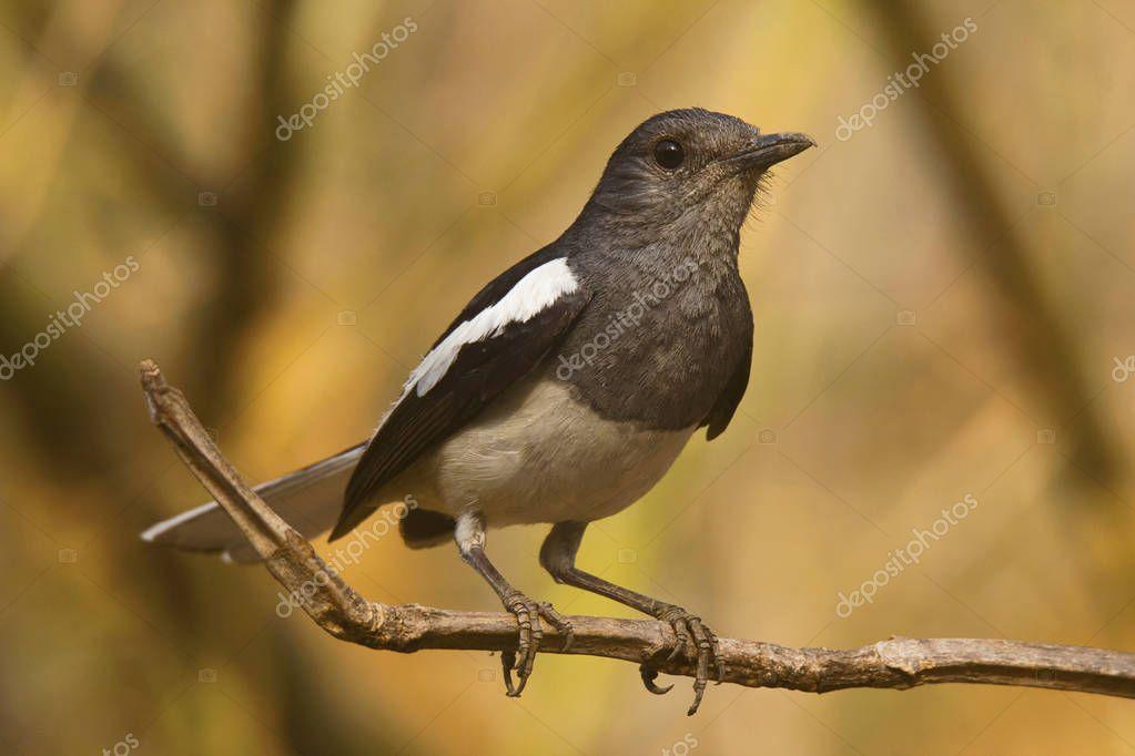 Magpie Robin, Copsychus saularis, Tipeshwar Wildlife Sanctuary, Maharashtra India
