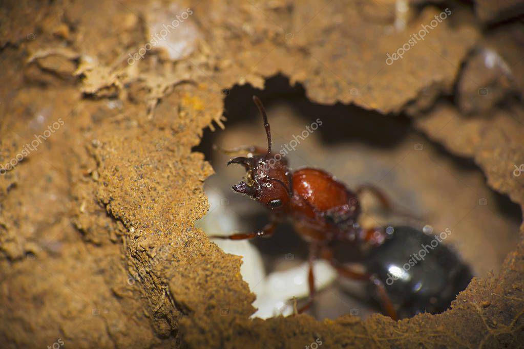 Close-up of an ant at Saswad, Maharashtra, India
