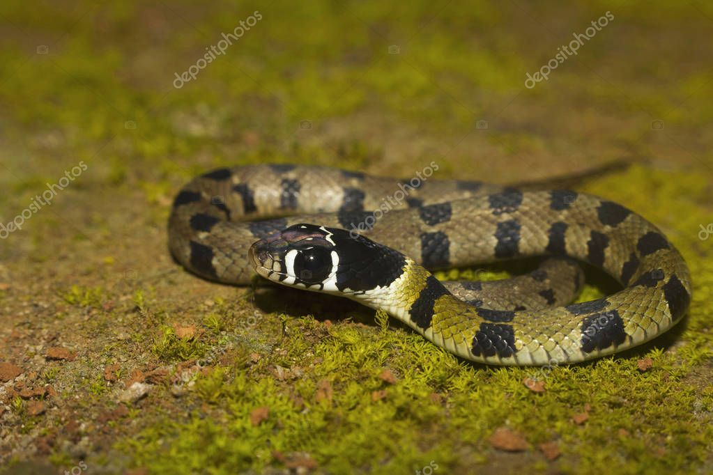 Hill Keelback or Amphiesma monticola from Sharavathi Wildlife Sanctuary, Karnataka, India.