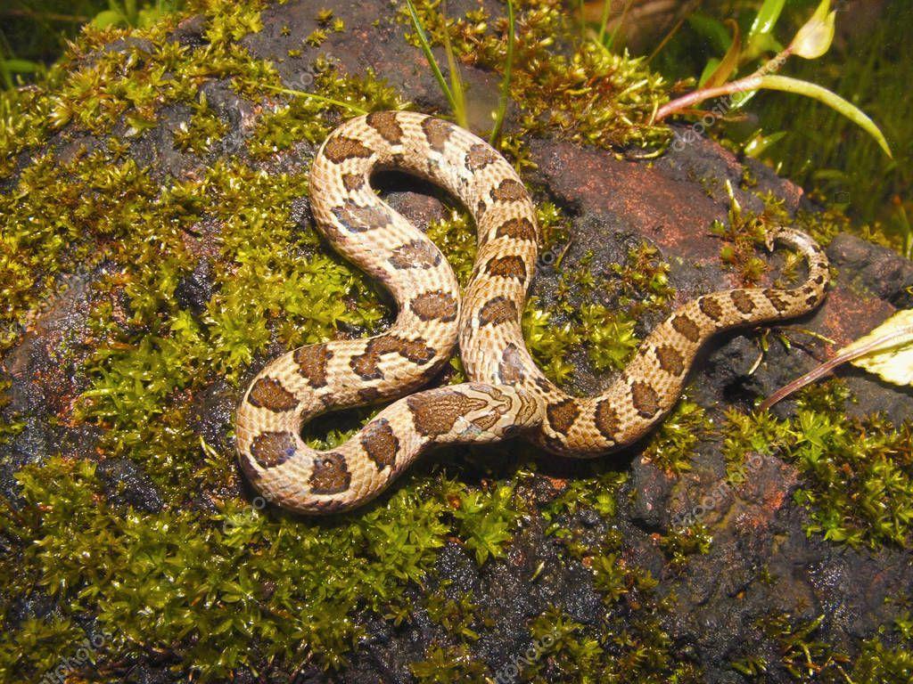 Russell's Kukri Snake or Oligodon taeniolatus from Bhuleshwar, Maharashtra, India