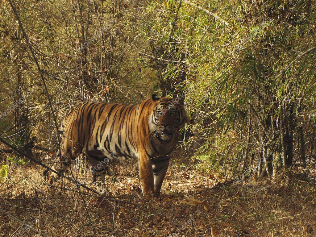 Tiger Panthera tigris tigris - Blues eyes, Bandhavgarh Tiger Reserve, Madhya Pradesh, India