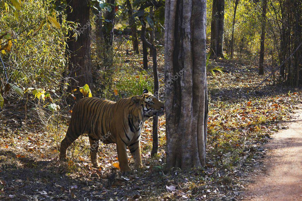 Tiger Panthera tigris tigris- Mukunda male at Bandhavgarh Tiger Reserve, Madhya Pradesh, India
