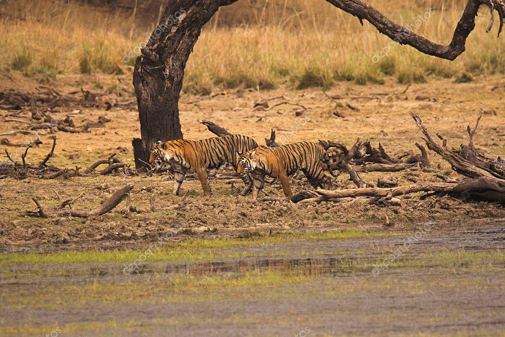 Tiger Panthera tigris tigris- T 19 with cub at Ranthambhore Tiger Reserve, Rajasthan, India