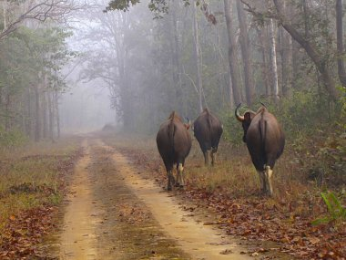 Indian Gaur, Kanha Tiger Reserve, Madhya Pradesh state of India