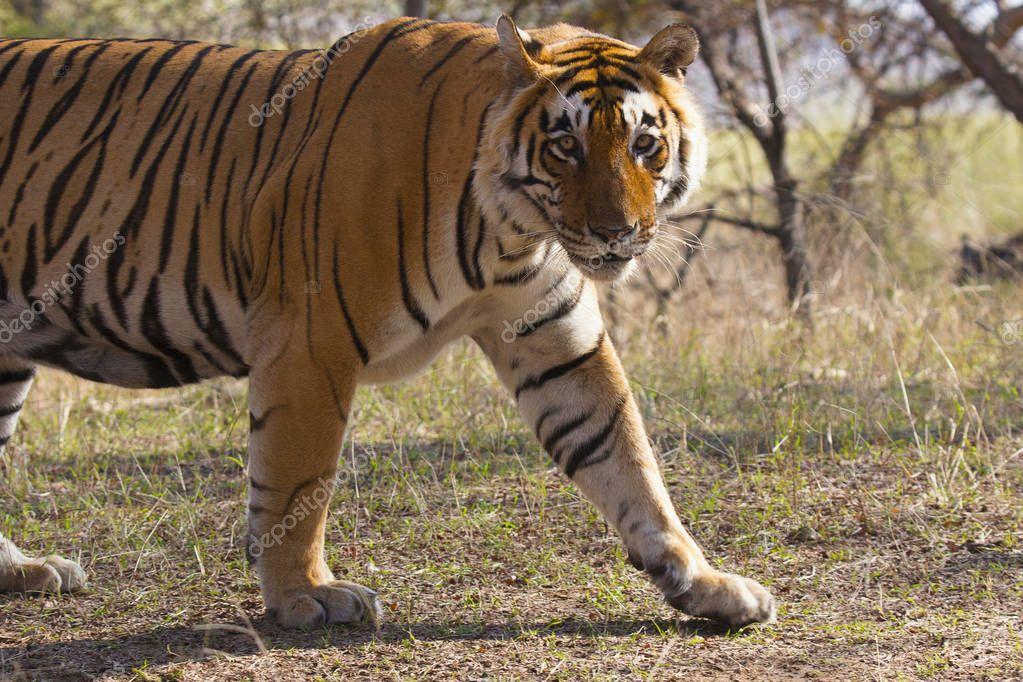 Tiger Panthera tigris tigris- T 28 at Ranthambhore Tiger Reserve, Rajasthan, India