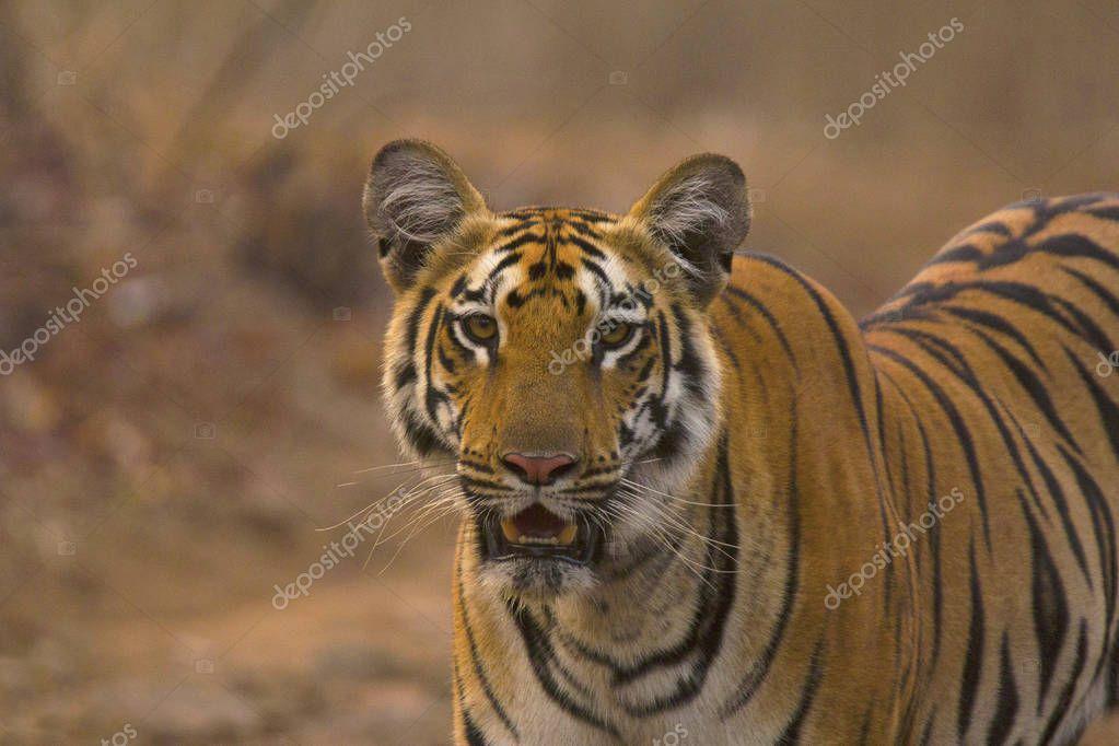 Zara Tiger, Panthera tigris tigris at Tipeshwar Wildlife Sanctuary, Maharashtra, India