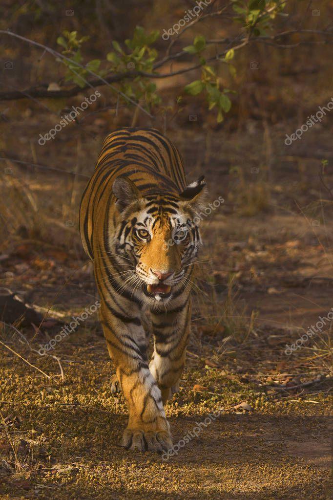 Samrat Tiger, Panthera tigris tigris, Bandhavgarh Tiger Reserve, Madhya Pradesh, India