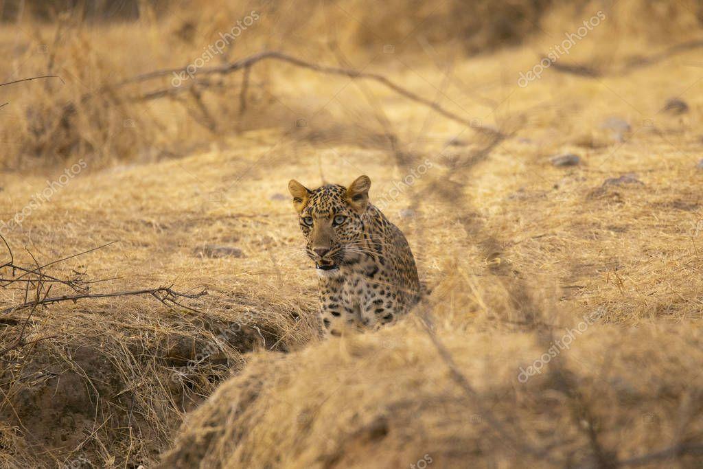 Indian leopard, Panthera pardus fusca at Jhalana, Rajasthan, India