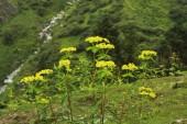 Euphorbia pilosa je mnohem větvenou, mléčný latex nesoucí vysoká bylina 40-80 cm. listy jsou střídavé, eliptické podlouhlé zúžit eliptický. Květenství s květy v hlavách s hrneček ve tvaru listeny