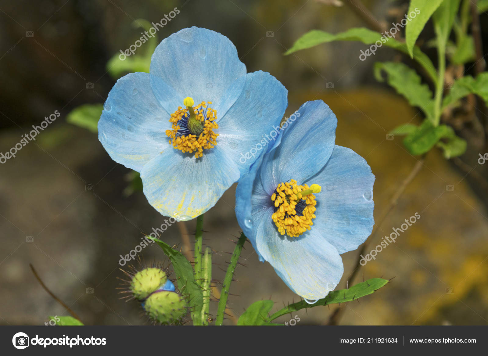 Blue Poppy Also Called Queen Himalayan Flowers Blue Poppy Found