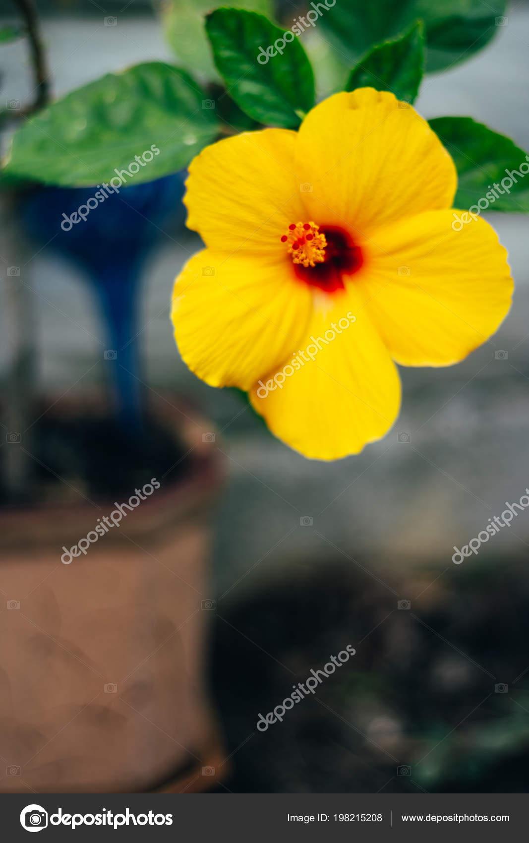 Hawaiian waterfall flower hibiscus brackenridgei hawaii yellow hawaiian waterfall flower hibiscus brackenridgei hawaii yellow flower with a red pestle with green leaves in a pot hawaiian hibiscus are seven species izmirmasajfo