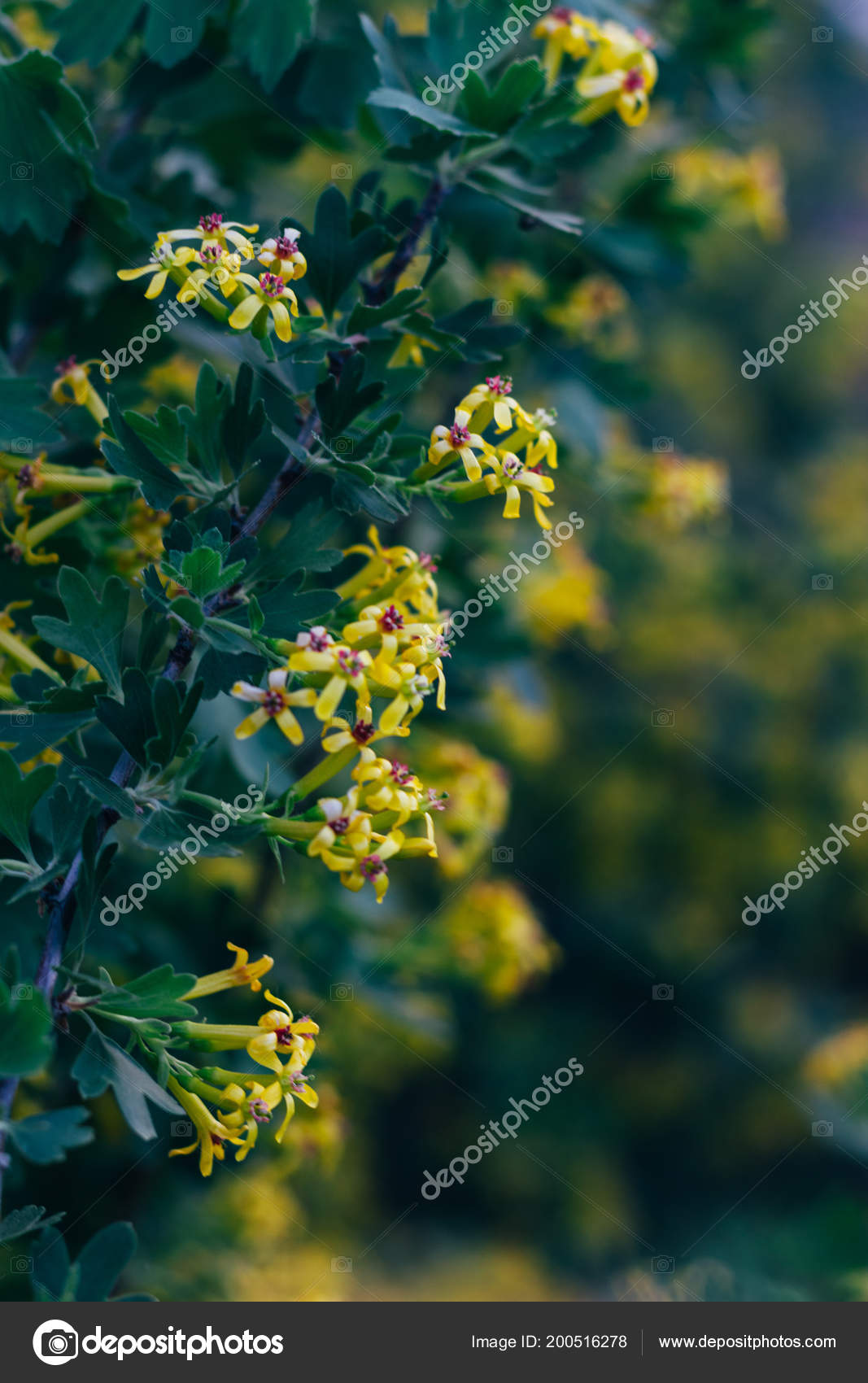 Yellow Flowers Gooseberry Gooseberry Bush Spring Branches Green