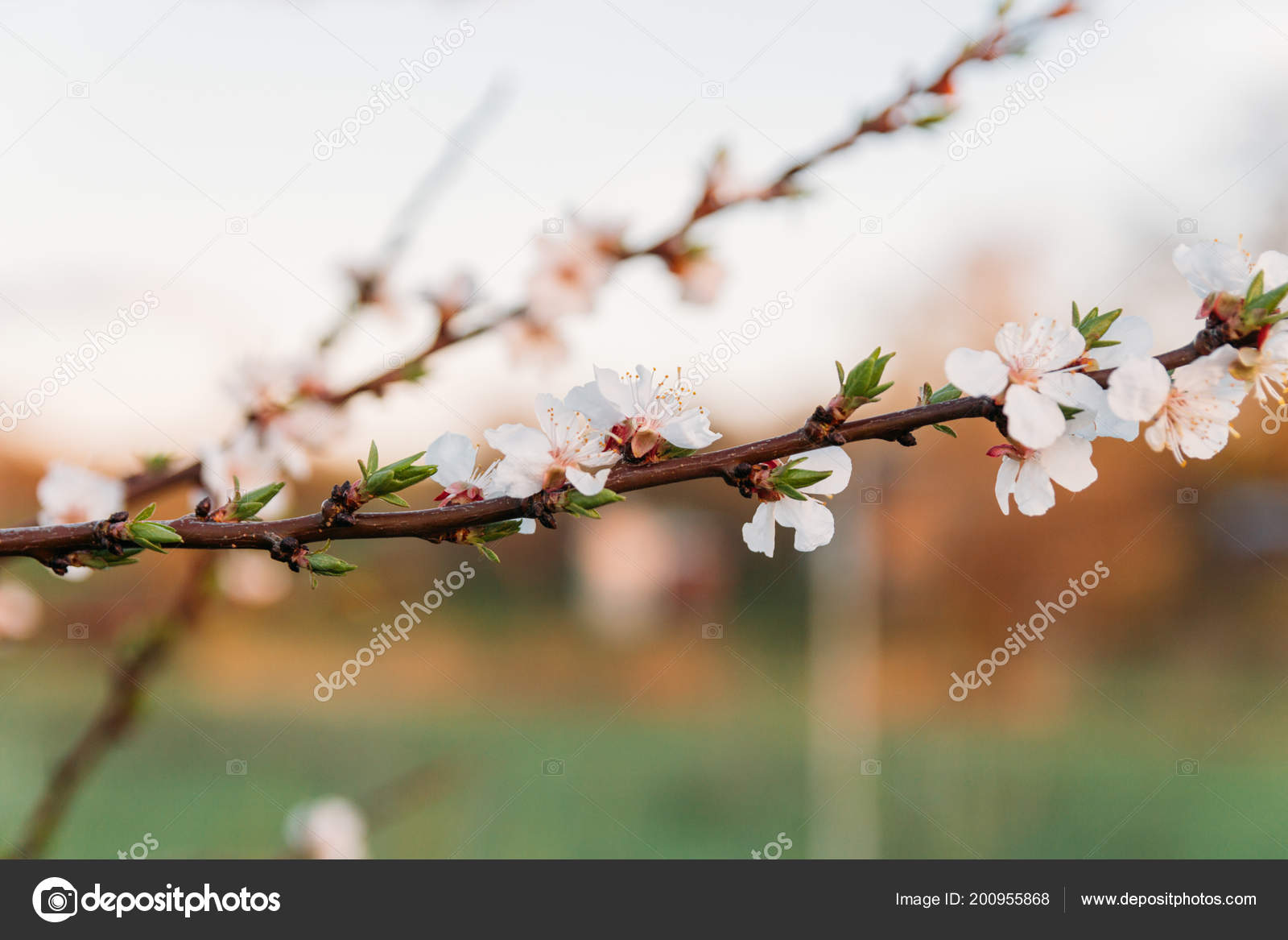 Cherry Branch White Flowers Blooming Early Spring Garden Sunset Day