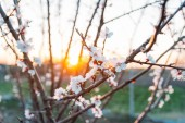 třešňové větve s bílými květy brzy na jaře kvetoucí v zahradě. při západu slunce v den slunce svítí na větvi