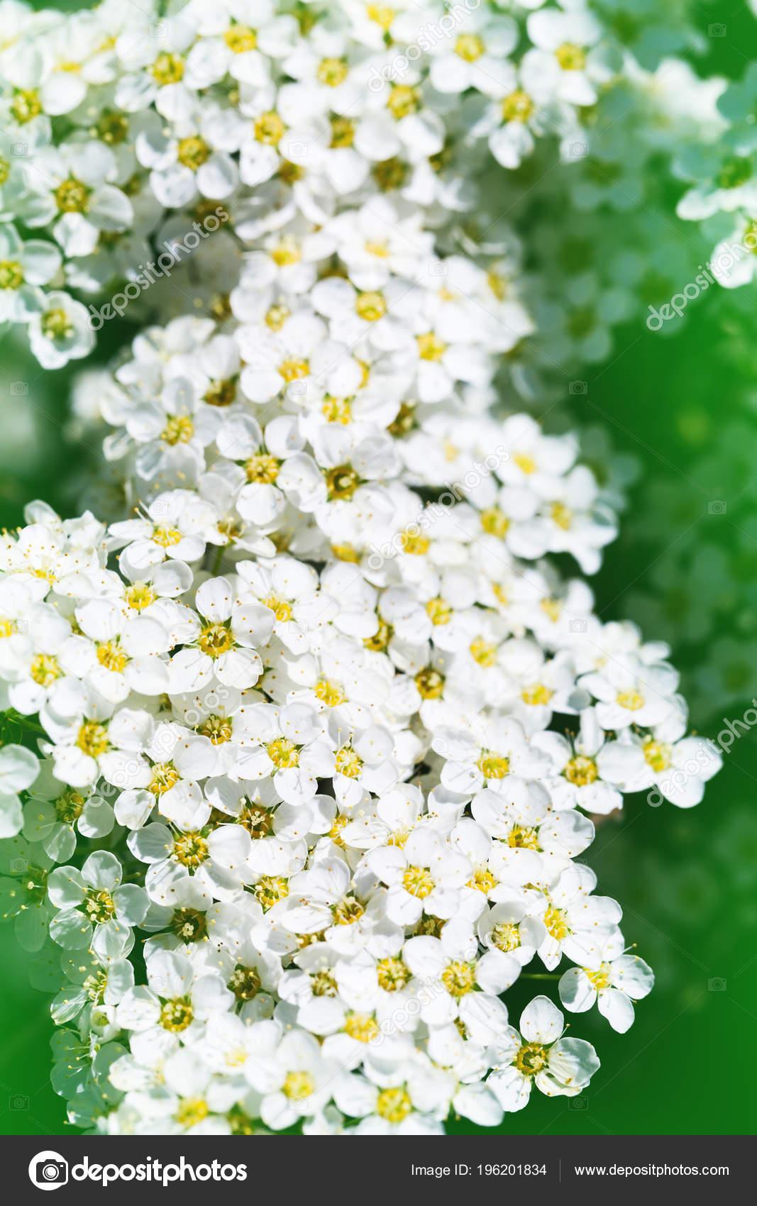 Close Picture Spiraea Bush Showing Details Flowers White Spirea