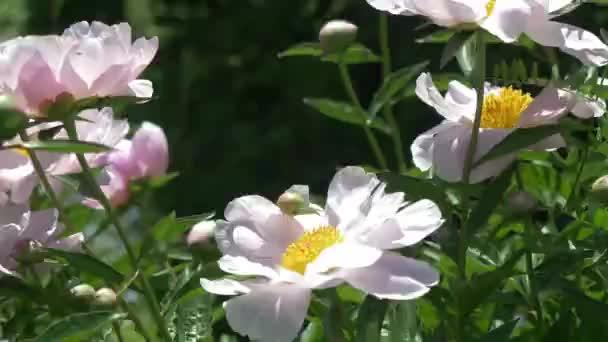 Rostliny kvetoucí bílá Pivoňka nebo lily. Pole rozkvetlých pivoněk v ranní jarní čas. Banda růžové rostliny na pozadí ze zelené zahrady.