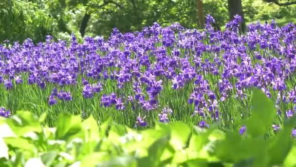 A lila tavaszi virág a reggel időben területén. Gyönyörű lila rét, a virágzó virágok a táj. Magic fantasztikus erdő háttérrel, lila növények.