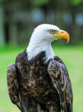Bald eagle with colorful plumage and white head on green background. Amazing portrait of American bald eagle as symbol and national bird of the United States. Sacred bird in some cultures.