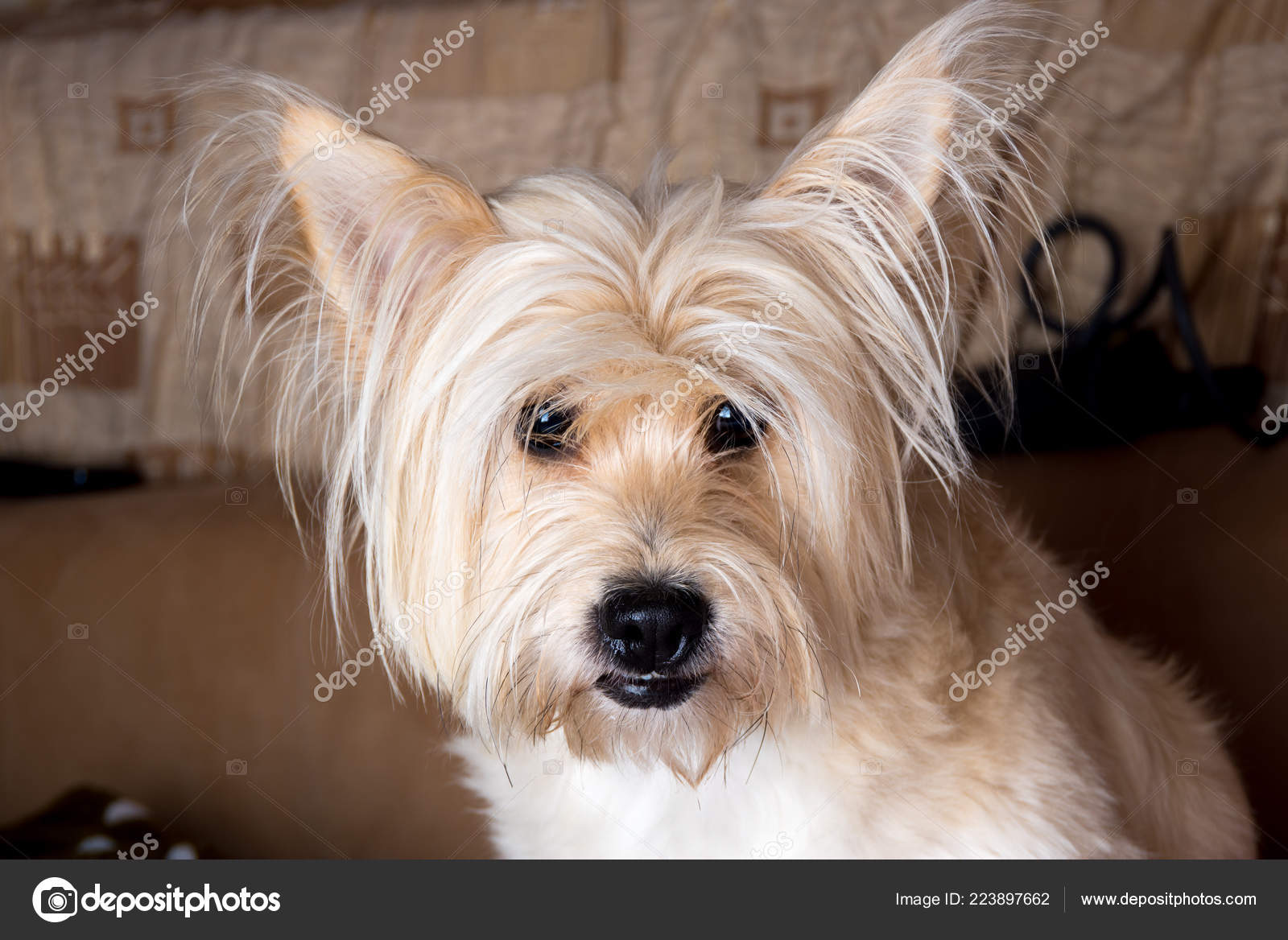 Cairn Terrier Dog Light Brown Long Hair Couch Stock Photo