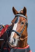 Fotografie Portrét úžasné hnědé koně s uzdou na obloze na pozadí