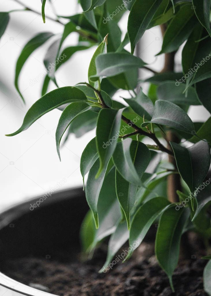 Ficus Benjamin in a white pot. Leaves of a green flower close-up