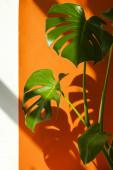 Monstera na slunci. Krásná kombinace barev: zelená, bílá, oranžová. Podrobnosti moderního interiéru.