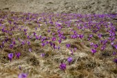 Fotografie front view of field with dry grass and spring crocuses in Romania