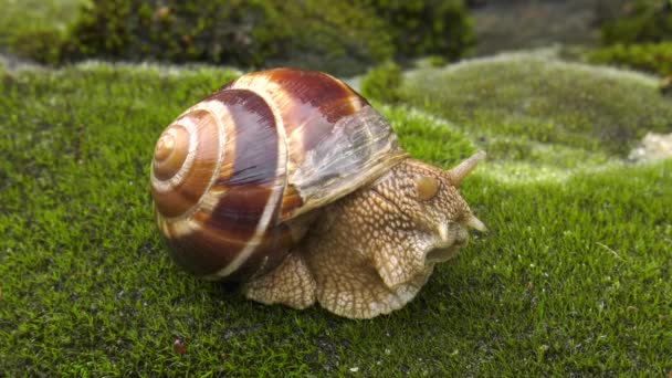 Snail Achatina fulica moves on the moss x5