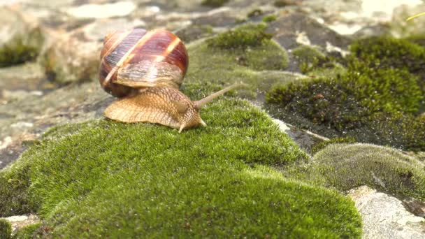 Snail Achatina fulica moves on the moss x5.