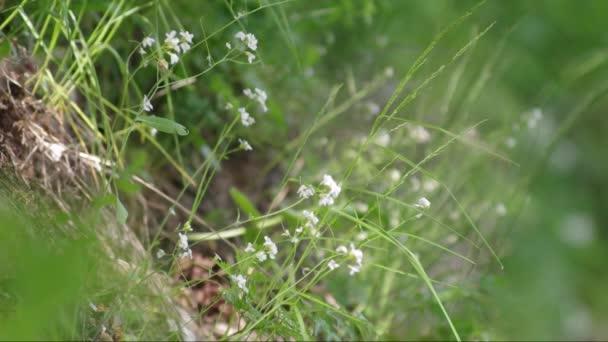 Iszalag (Atragene sibirica) a domboldalon. Középpontjába.