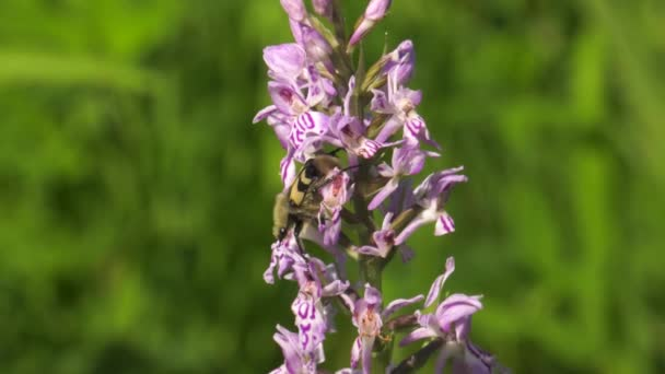 Flowering spotted orchid. Close-up.