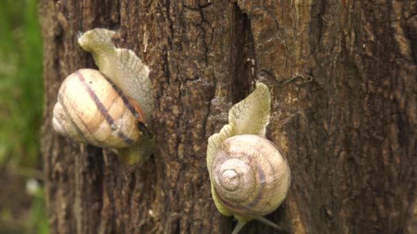 Land snail - Helix albescens.