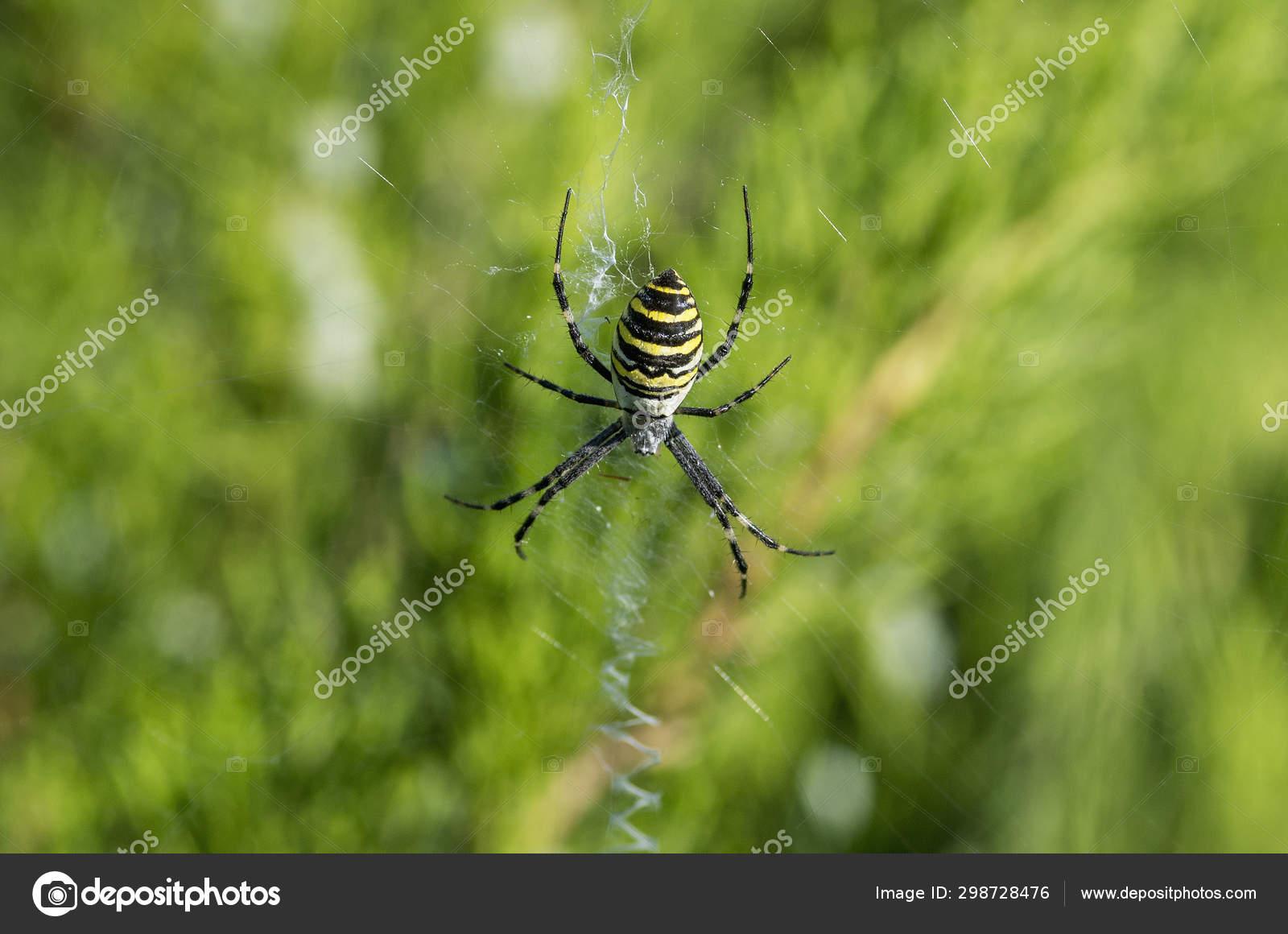 Poisonous Spider Argiope Bruennichi Wasp Spider Stock Photo