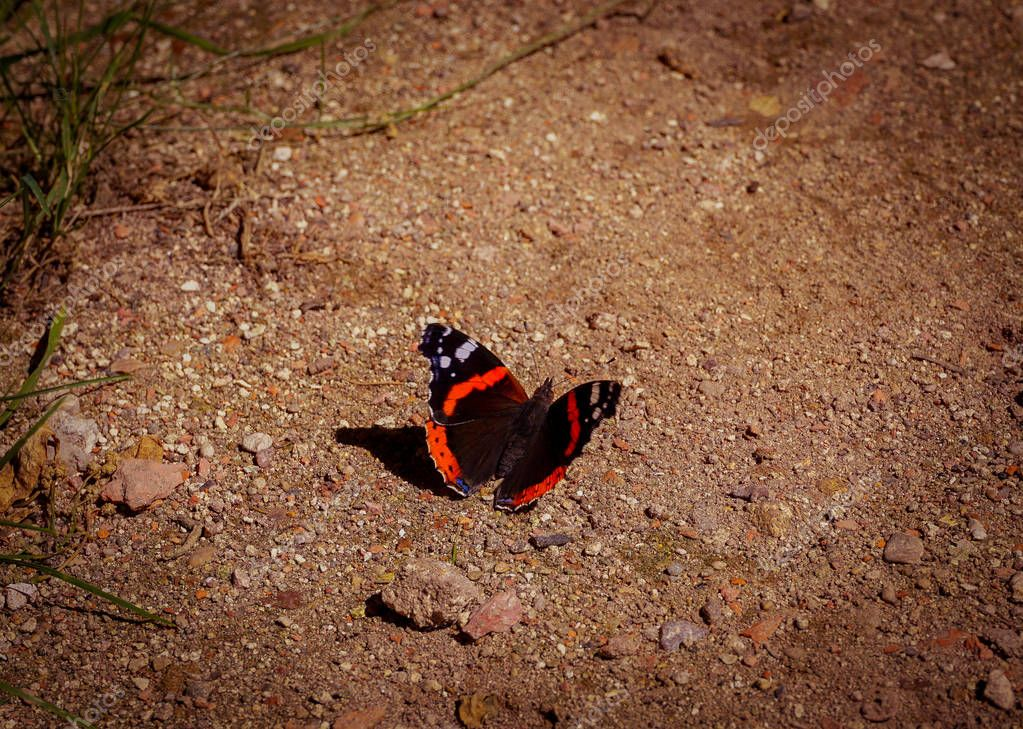 Butterfly red admiral red admirable , called in latin Vanessa atalanta, sits on sandy ground, closeup