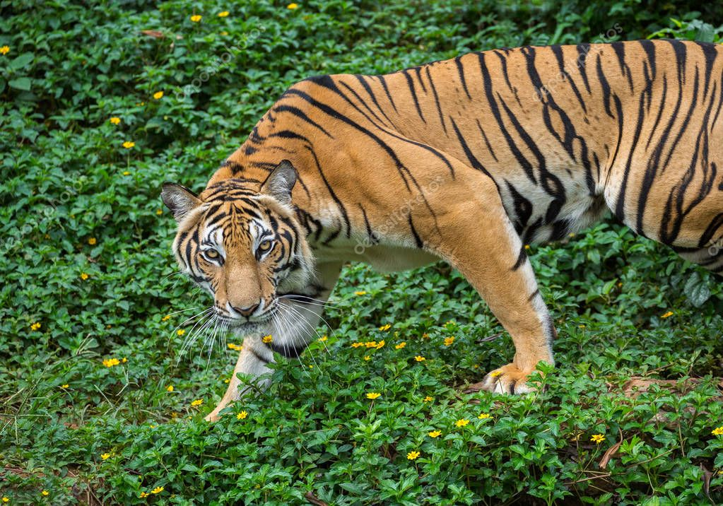 Asian tigers are watching the prey in the natural atmosphere.