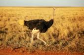 Comune dello struzzo (Struthio camelus) camminare sulla savanna al sole pomeridiano. Parco nazionale di Amboseli, Kenya
