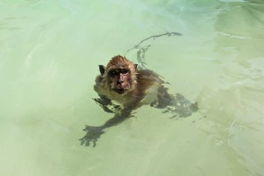 Small crab eating macaque monkey - Macaca fascicularis -swimming in shallow green sea near beach