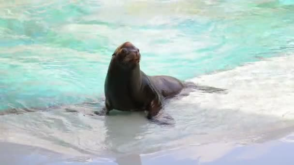 Seal animal relaxing in a pool a zoo