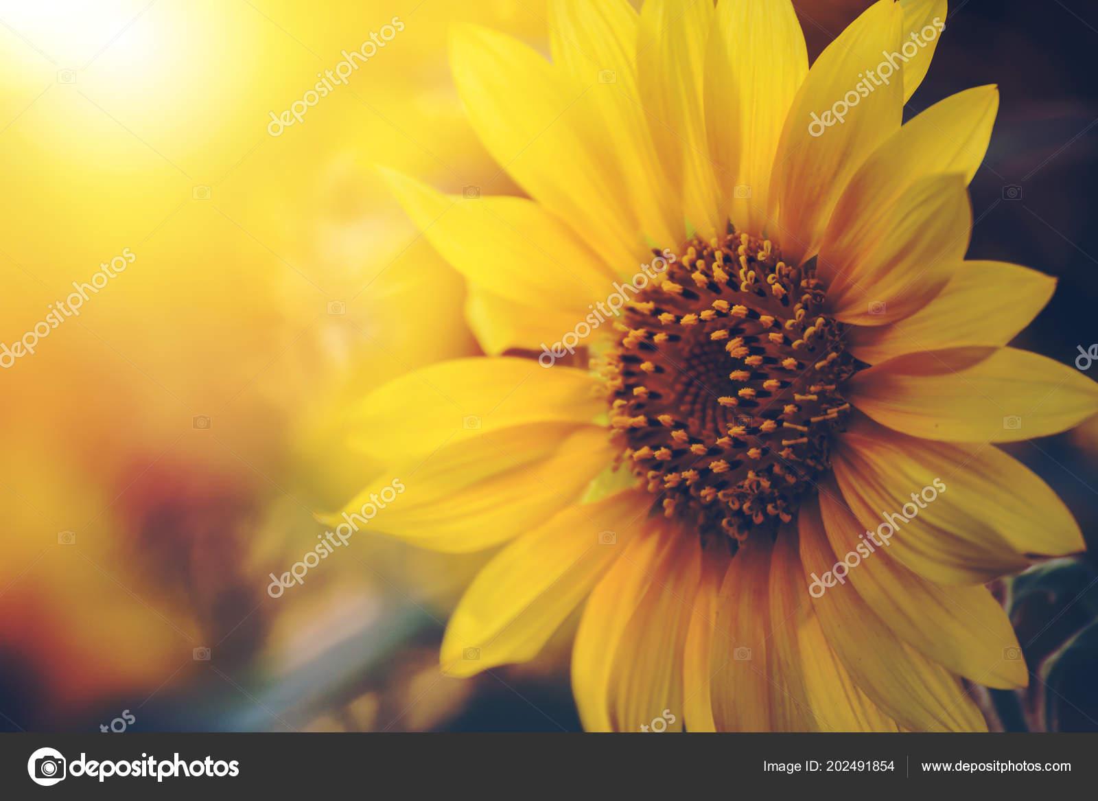 Bloeiende zonnebloemen het gebied van zomer lichte zonsondergang