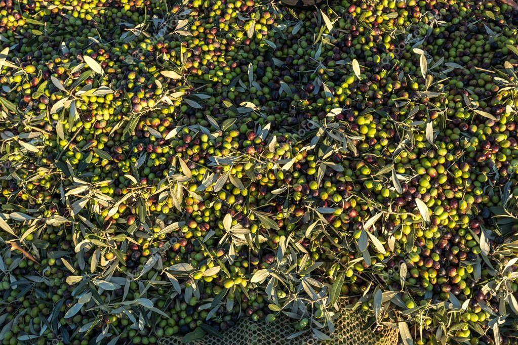 Tons of Olives After Picking and Collection Harvest for Olive Oil in Italy Organic Farming
