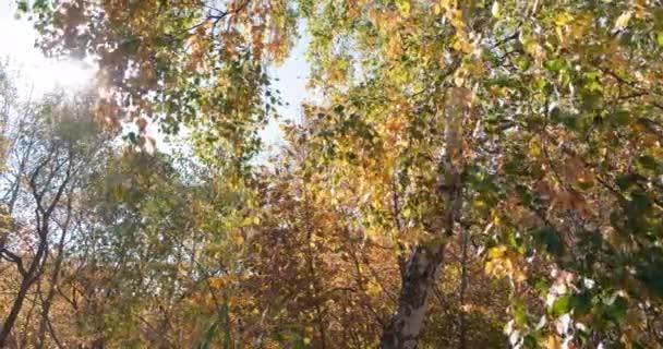 podzim listí, pestrobarevné břízové listy září v podzimním slunci