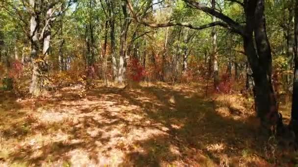 Pohybující se kamera mezi duby s barevnými podzimními listy v dubovém lese